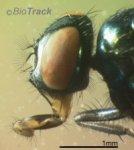 sheepfly