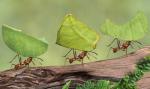 Fakta Tentang Semut Fakta yang Luar Biasa
