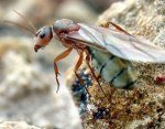 queen-ant01