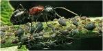 Semut-Hewan-yang-Pintar